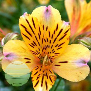 Walter Blom Plants Alstroemeria Duke Nicolas