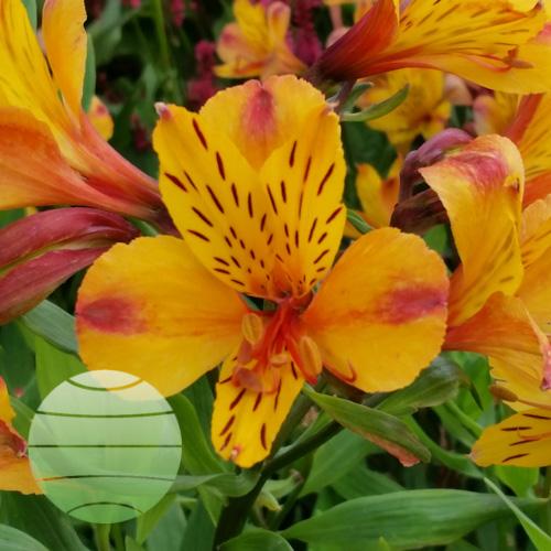 Walter Blom Plants Alstroemeria Majestic Serrant