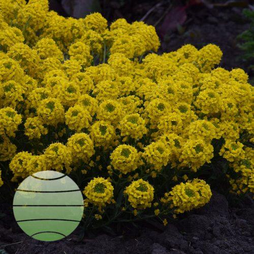 Walter Blom Plants Alyssum wulfenianum Golden Spring