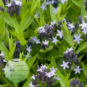 Walter Blom Plants Amsonia Blue Star