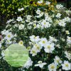 Anemone x hybrida Andrea Atkinson