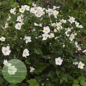 Walter Blom Plants Anemone Honorine Jobert