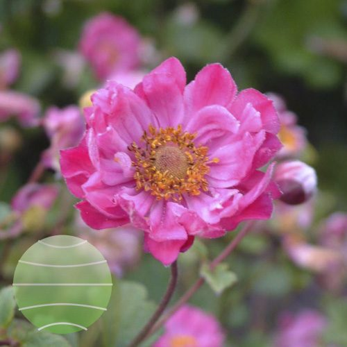 Walter Blom Plants Anemone Pamina