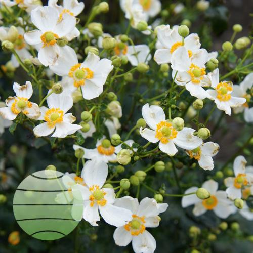 Walter Blom Plants Pretty Lady Maria
