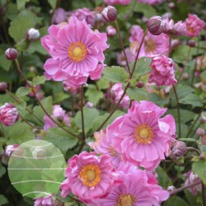 Walter Blom Plants Anemone Serenade