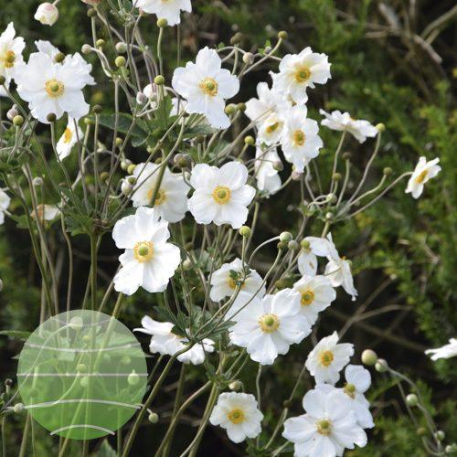 Walter Blom Plants Anemone Whirlwind