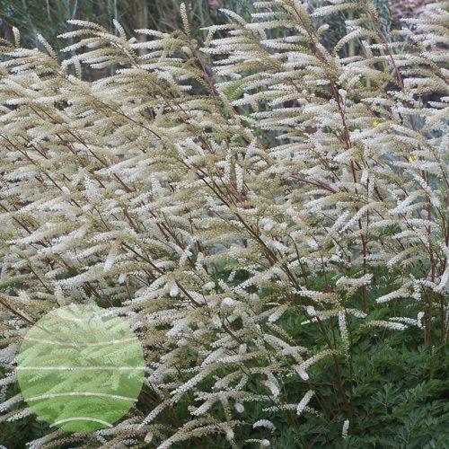 Walter Blom Plants Aruncus Guinea-Fowl