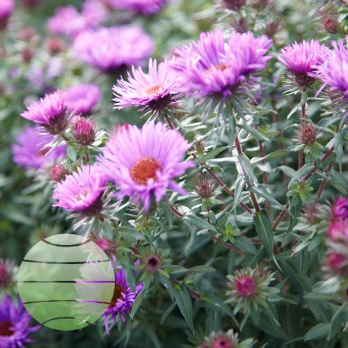 Walter Blom Plants Aster novae-angliae Purple Dome