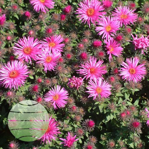 Walter Blom Plants Aster Vibrant Dome