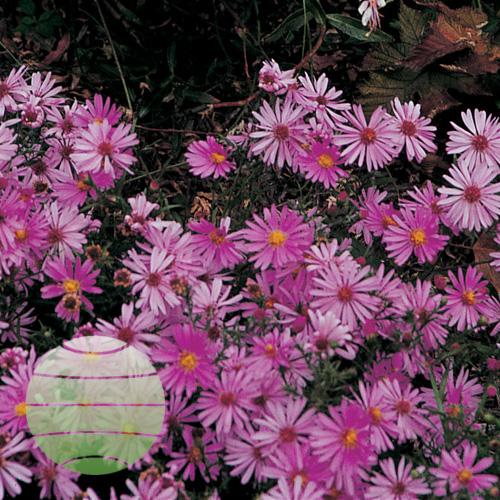 Walter Blom Plants Aster Woods Pink