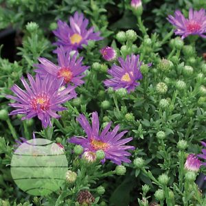 Walter Blom Plants Aster Woods Purple