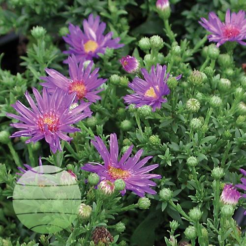 Walter Blom Plants Aster Woods Purple