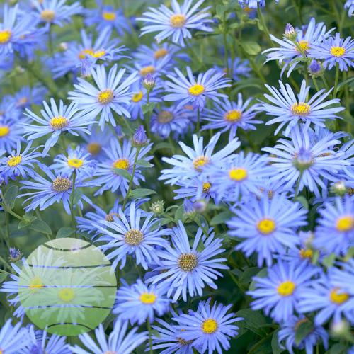 Walter Blom Plants Aster frikartii Moench