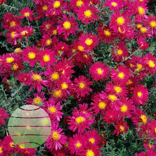 Walter Blom Plants Aster Winston S Churchill