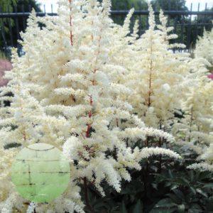 Walter Blom Plants Astilbe Cappuccino