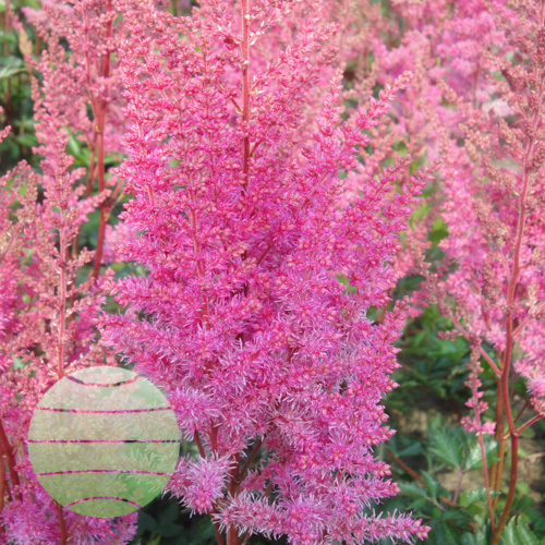 Walter Blom Plants Astilbe Mea