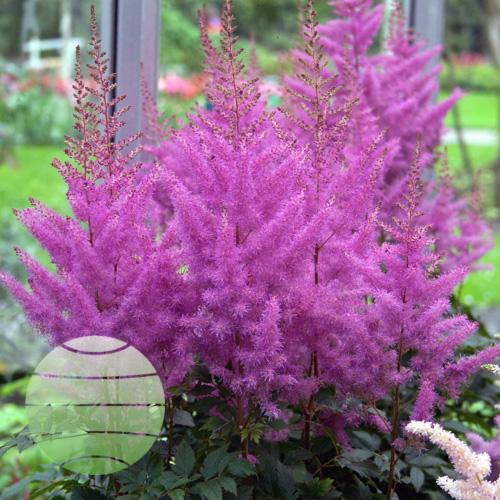 Walter Blom Plants Astilbe Nemo