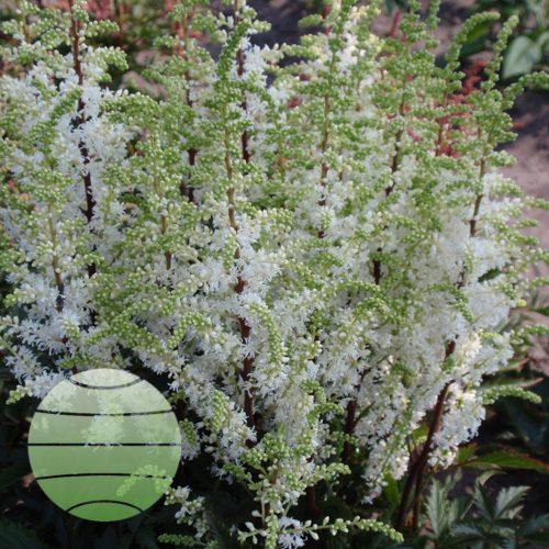 Walter Blom Plants Astilbe Short 'n' Sweet Whiteberry