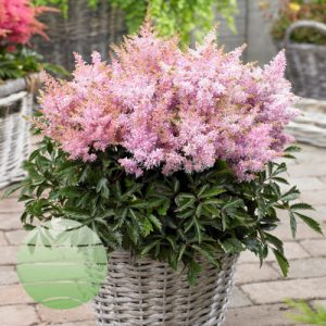 Walter Blom Plants Astilbe Short 'n 'Sweet Sugarberry