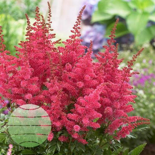 Walter Blom Plants Astilbe Younique Carmine