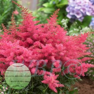 Walter Blom Plants Astilbe Younique Cerise