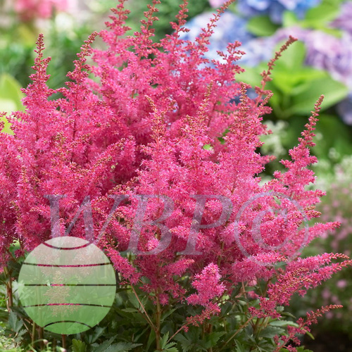 Walter Blom Plants Astilbe Younique Lilac