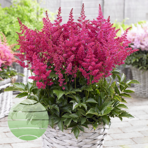 Walter Blom Plants Ruby Red