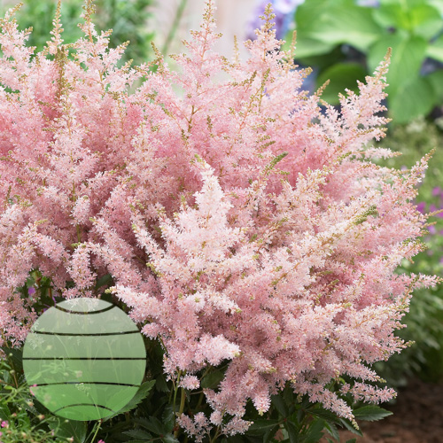 Walter Blom Plants Astilbe Younique Silvery Pink