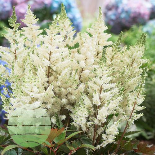 Walter Blom Plants Astilbe Younique White