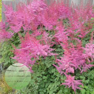 Walter Blom Plants Astilbe Mighty Joe