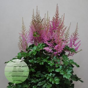 Walter Blom Plants Astilbe Mighty Phil