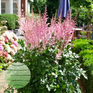 Walter Blom Plants Astilbe Mighty Pip