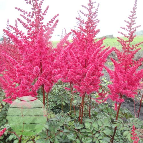 Walter Blom Plants Astilbe Mighty Red Quin