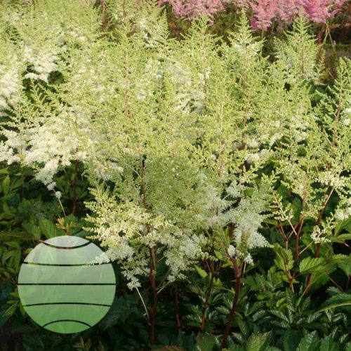 Walter Blom Plants Astilbe c Plonie