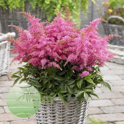 Walter Blom Plants Astilbe Short 'n Sweet Raspberry