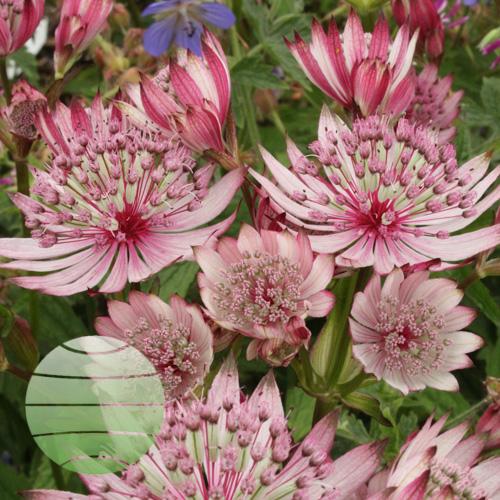 Walter Blom Plants Astrantia Sparkling Stars Pink