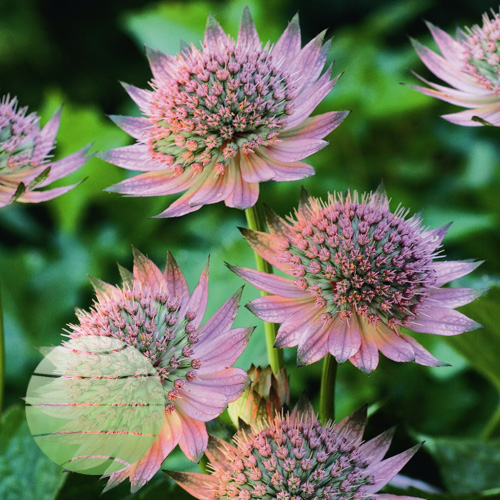 Walter Blom Plants Astrantia major Florence