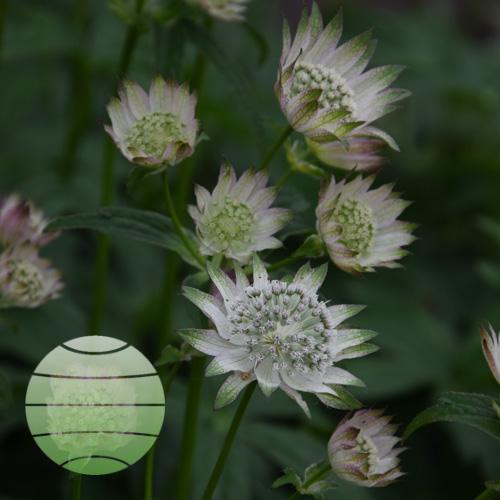 Walter Blom Plants Astrantia major Rosemarie