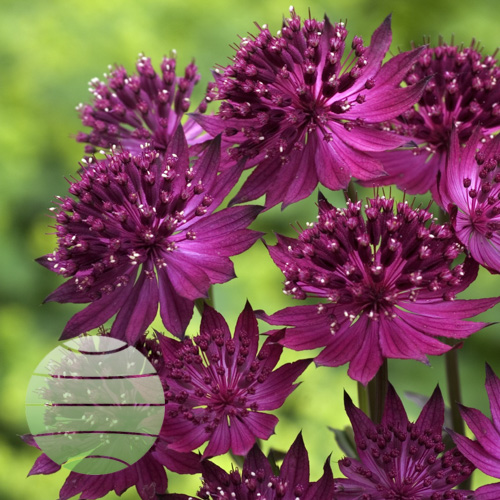 Walter Blom Plants Astrantia major Venice
