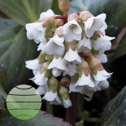 Walter Blom Plants Bergenia Bressingham White