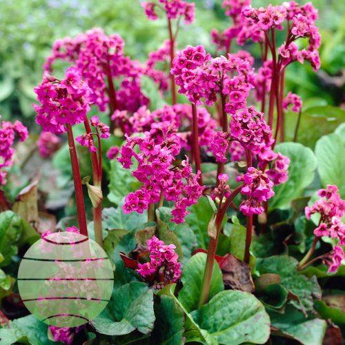 Walter Blom Plants Bergenia Eroica