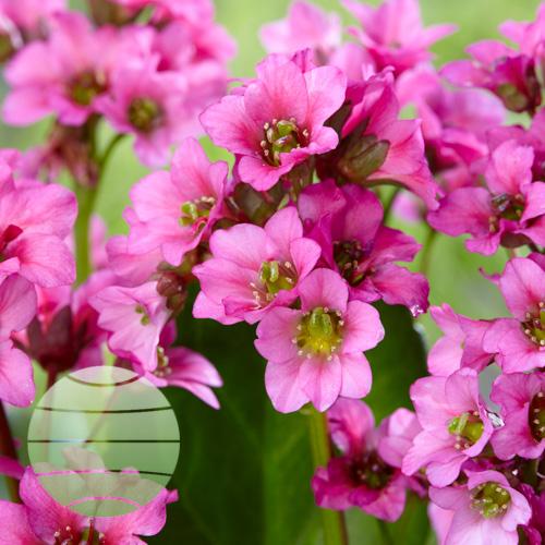 Walter Blom Plants Bergenia Maikind