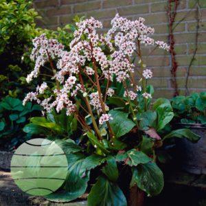 Walter Blom Plants Bergenia Silberlicht