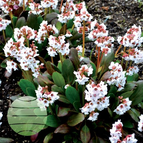 Walter Blom Plants Bergenia Dragonfly™ Angel Kiss