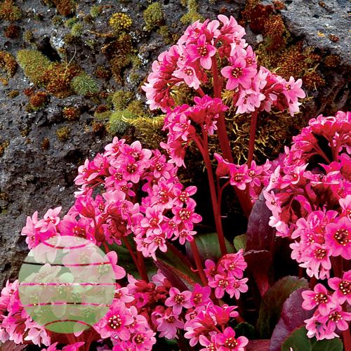 Walter Blom Plants Bergenia Pink Dragonfly™