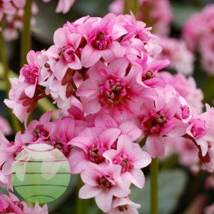 Walter Blom Plants Bergenia Dragonfly™ Sakura