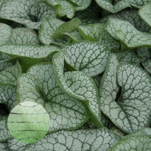 Walter Blom PLants Brunnera Sea Heart