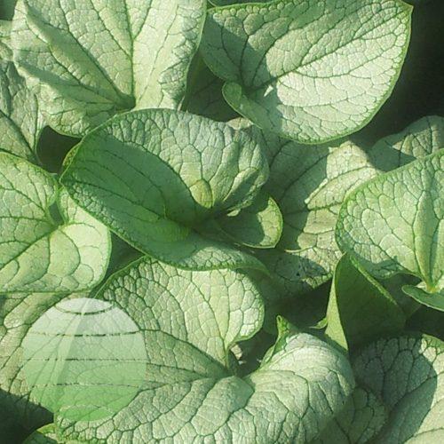 Walter Blom Plants Brunnera Silver Heart