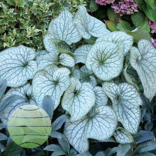 Walter Blom plants Brunnera macrophylla Alexander's Great