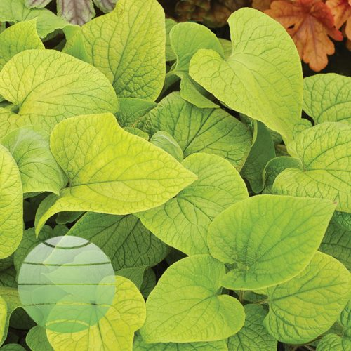 Walter Blom Plants Brunnera Diane's Gold